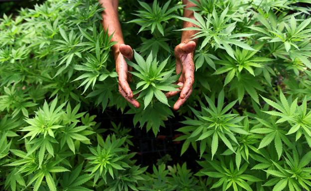 1cannabis110116